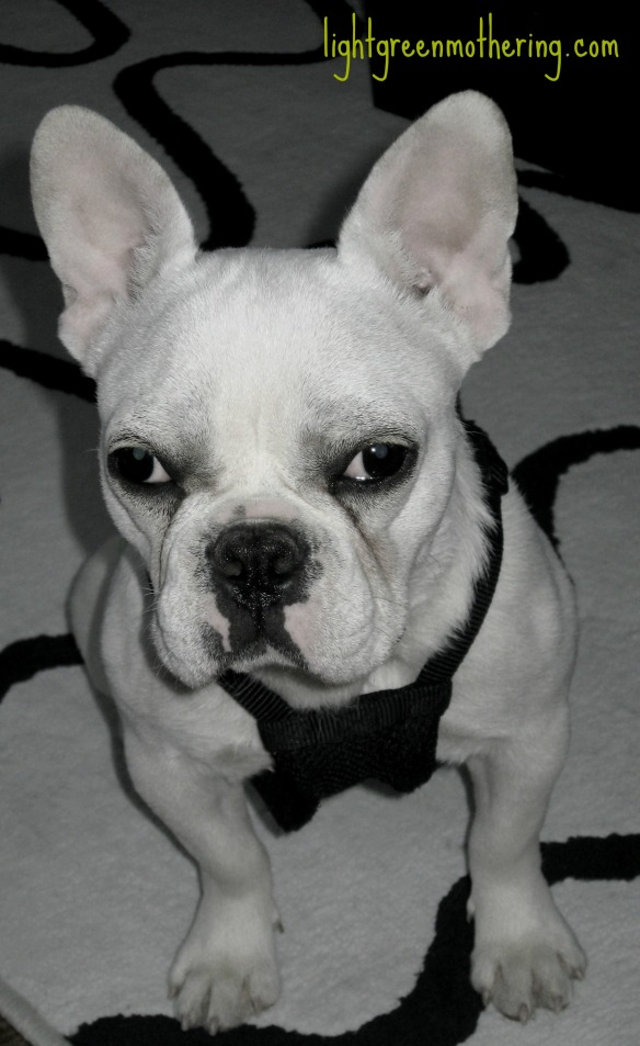 Frenchie Friday ~ lightgreenmothering.com