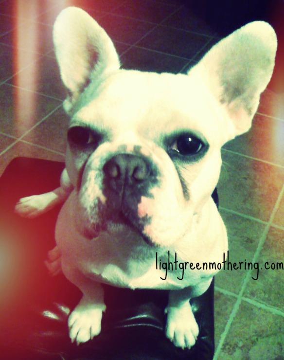 Frenchie Friday! ~lightgreenmothering.com