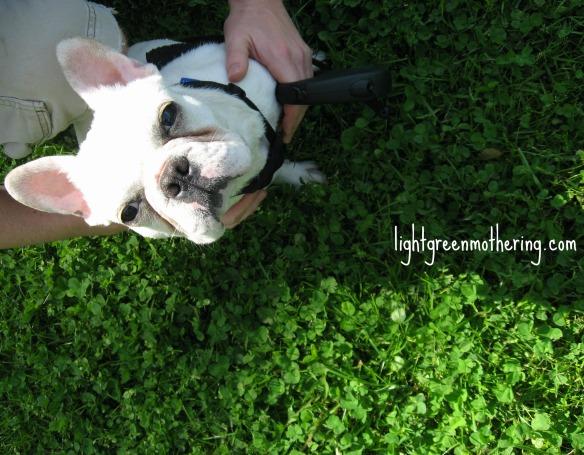 Frenchie Friday!! ~ lightgreenmothering.com